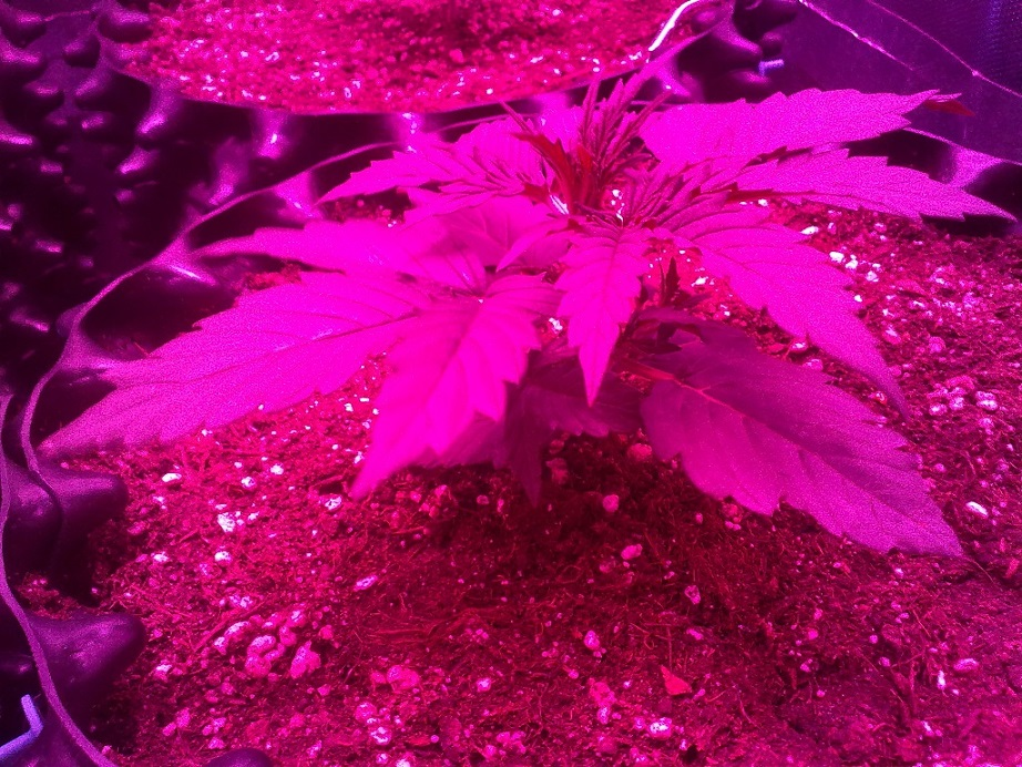 Purple Lady 3 Day 14.jpg