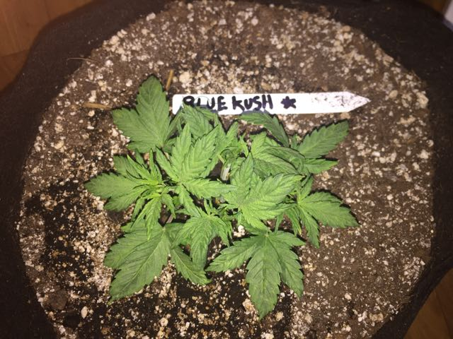 DAY 21 Blue Kush Auto.jpg