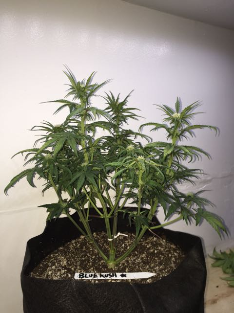 DAY 35 Blue Kush Auto.jpg